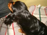 1 Black-and-Tan male Cavalier pup, ready now, born Jan