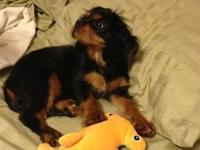 Reggie is a CKC spaniel puppy who was born on March 1,