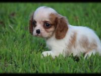 Female Cavalier King Charles Spaniel Puppy only 8