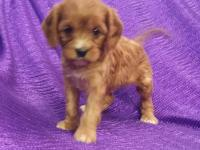 """RARE""~""SILKY-COAT-CAVAPOO""=""NON-SHED"" - RED - HEALTHY"