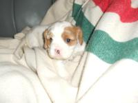 AKC Beautiful little Blenheim female pup. Puppies are