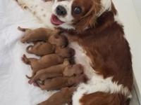 Litter of 6 gorgeous Ruby Cavaliers. ACA registered.