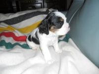 AKC tri-colored adorable little boy. Puppies are raised
