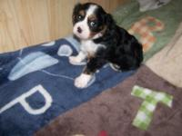 AKC Cavalier King Charles male tri color extremely nice