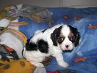 AKC Cavalier King Charles male tri color beautiful coat
