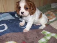 AKC Cavalier King Charles Blenheim male super nice coat