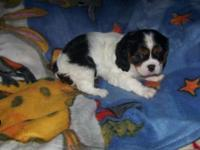 AKC Cavalier King Charles tri male gorgeous coat just a