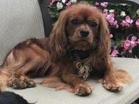 We are a small hobby breeder of AKC Cavalier King