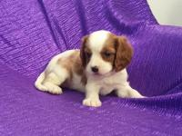 """RARE""~""SILKY-COAT-CAVAPOO""=""NON-SHED""-RED &"