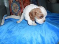 AKC Adorable little Blenheim girl. My puppies are