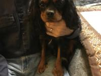 Oatie is a female solid black n Tan AKC Cavalier. She