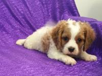 CAVAPOO NON-SHED-RED & WHITE-FAMILY SIZE FEMALE PUPPY,