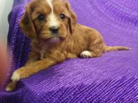 """RARE""~""SILKY-COAT-CAVAPOO""=""NON-SHED""-RED AND WHITE"