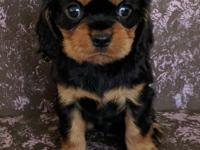 Registration AKC This adorable Cavalier King Charles