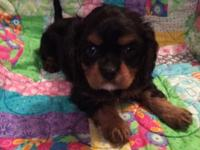 We have 1 Beautiful Cavalier baby for sale. Pet price.