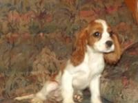 "Cavalier King Charles Spaniel Puppy, ""Honey Bunny"","