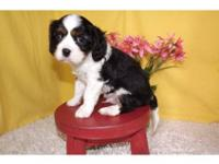 # AKC CAVALIER KING CHARLES CAVALIER SPANIEL PUPS for