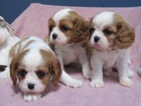 Stunning pups available Thanksgiving week. There are 2
