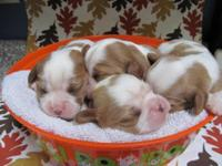 2 Blenheim litters. m/f available. AKC registered