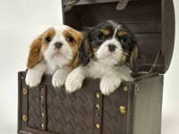 Cavalier King Charles Spaniel puppies AKC Males and