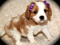 AKC CAVALIER KING CHARLES SPANIELS. I have 1 tri male