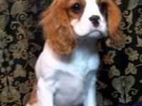 AKC CAVALIER KING CHARLES SPANIEL PUPPIES 4 MONTHS OLD