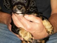 We have five little Cavalier King Charles Spaniel mixes
