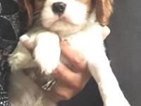Beautiful Cavalier King Charles Spaniels 1 male 1