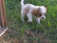 I have 3 AKC Cavalier King Charles Spaniels left. They