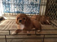 Beautiful RUBY male Cavaliers, AKC reg. DOB: 8-7-15