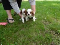 Cavalier King Charles Spaniels, 8 Weeks, First Shots,