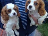 Cavalier King Charles Spaniel puppies. 9 weeks, 2