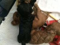 Four adorable Cavalier King spaniels. Will be ready for