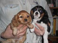 3/4 cavalier puppies,all males,They have had their