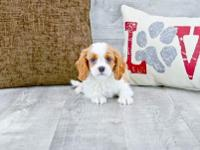 Burch is a Blenheim male Cavalier. He is quite the
