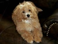 New Arrivals!Our second generation CavaMaltipoo is