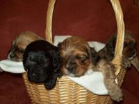 We have two litters of Cavapoos due in late summer! All