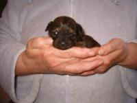 Cavapoo puppies, born 12/21/2012, now welcoming