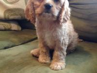 Cavapoo Pups! 3 males left!! ready to go now, up to