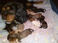 Our sweet Molly delivered 7 Cavapoo puppies on
