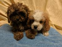 Two female CavaPoos available for their new homes on