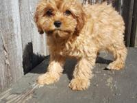 Stunning Cavapoo with great personality. Loves the