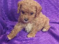 CAVAPOO -NON-SHED-RED & WHITE PAWS - HEALTHY HAPPY