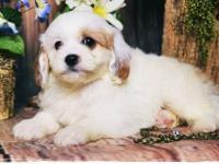 Ziggy is an adorable Cavapoo boy! He is very sweet and