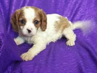 """RARE""~""SILKY-COAT-CAVAPOO""=""NON-SHED"". HEALTHY SMALL"