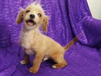 SMALL--TOY SIZE... NON-SHED, HEALTHY & HAPPY MALE PUPPY
