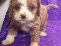 CAVAPOO NON-SHED RED AND WHITE SMALL-TOY SIZE MALE