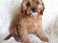 Cavapoo puppies! Very sweet, personalities! Very good