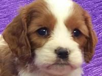 CAVAPOO NON-SHED BEAUTIFUL RED & WHITE FAMILY SIZE MALE