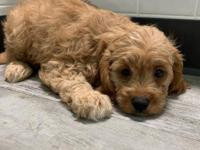 OMG!! Gorgeous litter of ruby red Cavapoo pups. We are